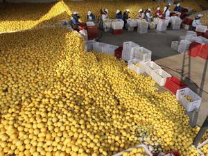 Making lemonade: how the 'lemon capital' of China built a billion-dollar brand