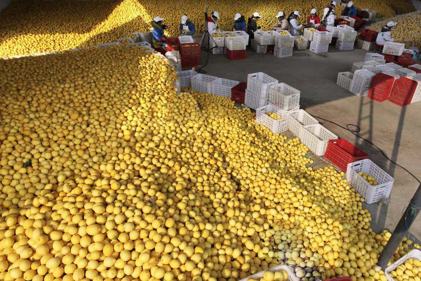 Dozens of workers pick and pack lemons. Source: Anyue Publicity Department