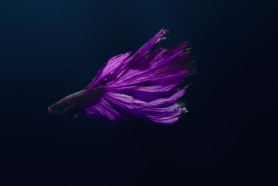 Rolls Royce Phantom likened to...a Siamese fighting fish?