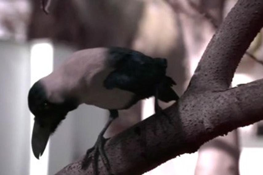 比巴卜|乌鸦|印度