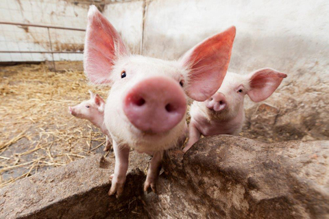 China's top pig farmer seeks Cofco deal
