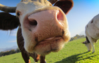 Shengmu milk IPO leaves fundraising semi-skimmed