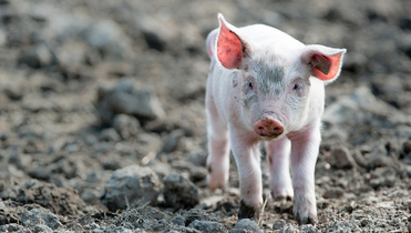 WH Group IPO is now more of a piglet